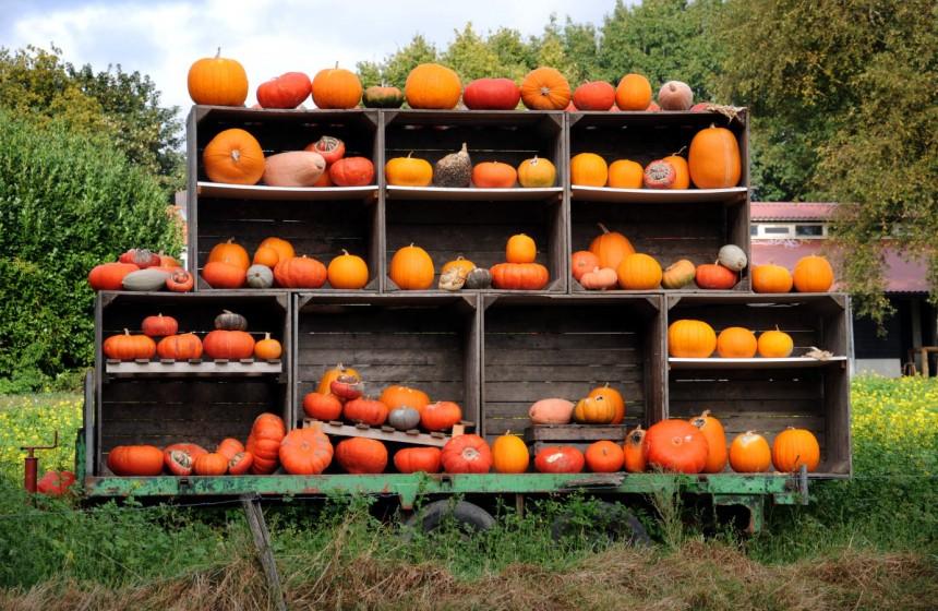 pompoen / pumpkin