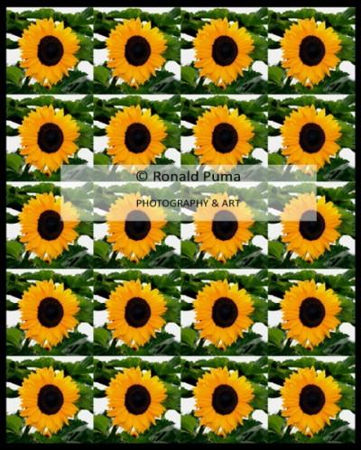 Zonnebloem / Sunflower