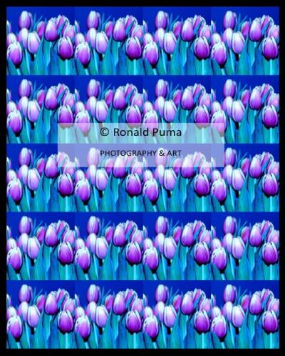 Tulpen / Tulips #6