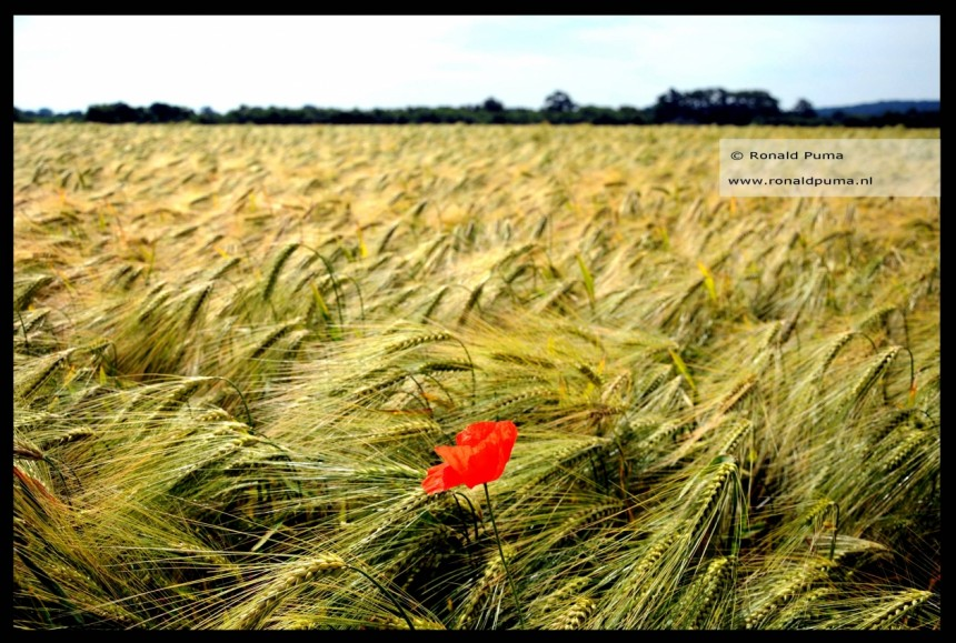 Grainfield with poppy (Netherlands)