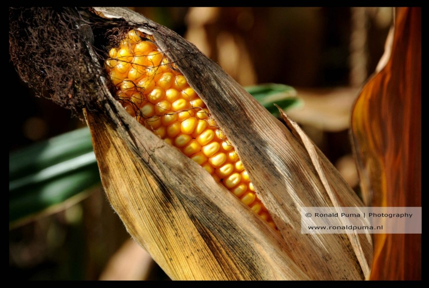 Mais / Corn