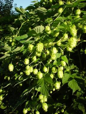 Hop (Humulus lupulus) ©IEZ