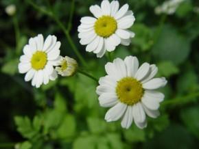 Moederkruid (Tanacetum parthenium) ©IEZ