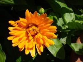 Goudsbloem (Calendula officinalis) ©IEZ