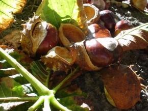Paardenkastanje (Aesculus hippocastanum, Semen hippocastani (zaad)) ©IEZ
