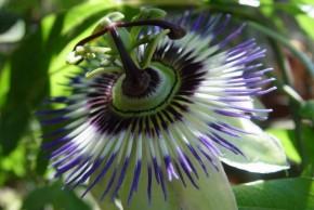 Passiebloem (Passiflora incarnata) ©IEZ