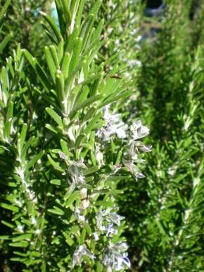 Rozemarijn (Rosmarinus officinalis) ©IEZ