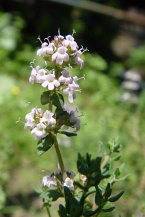Tijm (Thymus vulgaris / zygis) ©IEZ