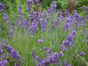 Lavendel (Lavandula angustifolia) ©IEZ