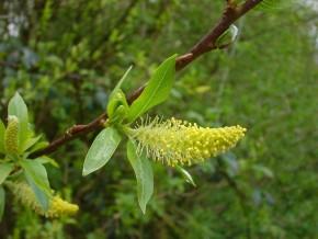 Schietwilg (Salix alba, wilg, witte wilg) ©IEZ
