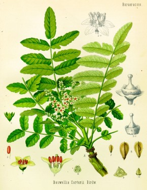 Wierook (Boswellia serrata, Olibanum Indicum)