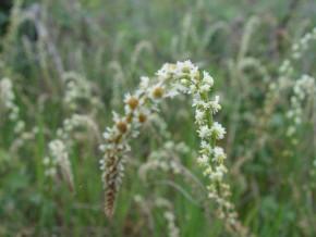 Zilverkaars (Cimicifuga racemosa, Actaea racemosa)
