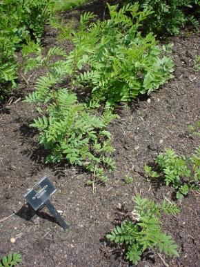 Zoethout (Glycyrrhiza glabra, Liquiritiae radix (F)) ©IEZ