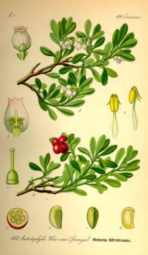Beredruif (Arctostaphylos uva-ursi)