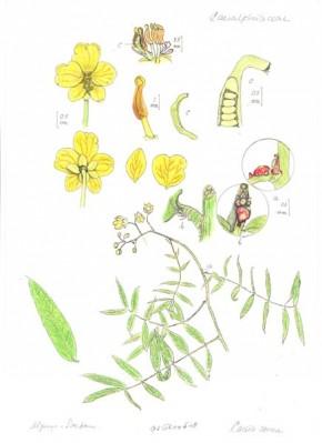 Senna (Cassia senna, Cassia acutifolia) ©C.D.Laros