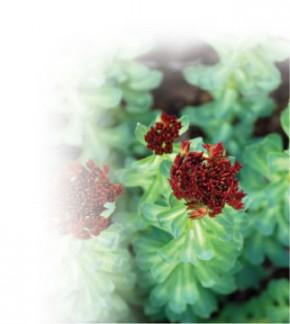 Rhodiola (Rhodiola rosea) ©VSM
