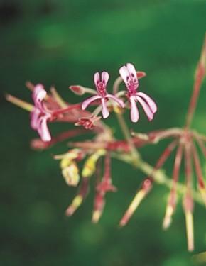 Kaloba (Pelargonium sidoides, Geraniumsoort (NL)) ©VSM