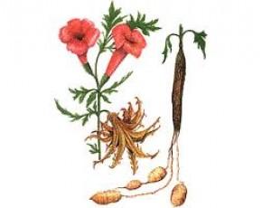 Duivelsklauw (Harpagophytum procumbens) ©theeshop.nl