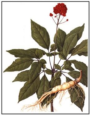 Ginseng (Panax ginseng) ©itm