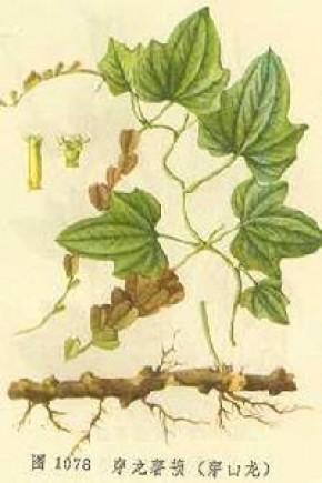 Yam (wortelstokken) (Dioscorea nipponica Makino)