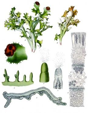 IJslands mos (Cetraria islandica, Lichen islandicus)