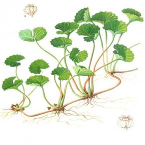 Gotu kola (Centella asiatica) © education info