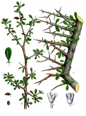 Myrrhe (Commiphora molmol) ©KÖhlers Medic. Pflanz