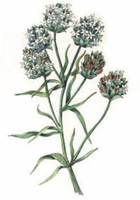 Vlozaad (Plantago ovata / ispaghula) ©natural remedies
