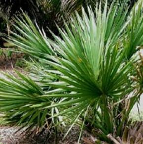 Zaagbladpalm (Serenoa repens, Sabal serrulata, Dwergpalm)