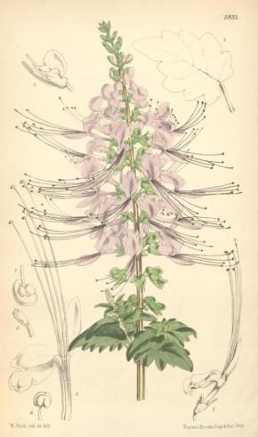 Kattesnor (Orthosiphon stamineus, Koemis Koetjing, Javaanse nierenthee) ©wikipedia