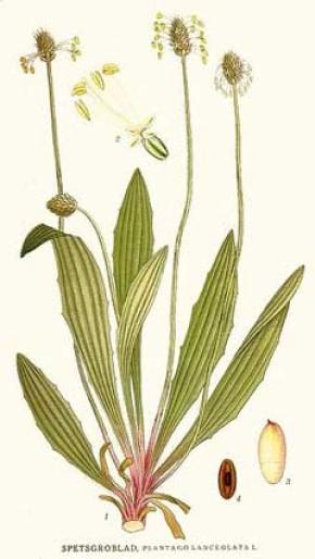 Weegbree, smalle (Plantago lanceolata, Plantain)