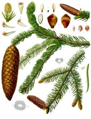 Fijnspar (Picea excelsa, Spar, denneboom)