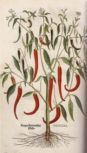 Peper, rode (Capsicum annuum, Rode peper, Spaanse peper, chilipeper)