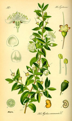Mirte (Myrtus communis)